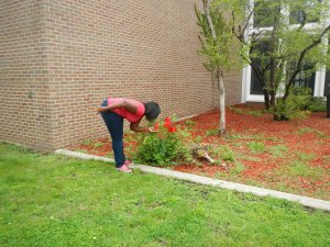 Sophomore Candace Jennings sniffs the freshly bloomed roses on raised beds in front of Kenwood Academy.