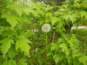 A dandelion blooms in the midst of the lush green leaves from a near-by tree on the track.